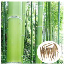 JCSSUPER 100pcs Garden Evergreen Arbor Moso Bamboo Seeds Courtyard Phyllostachys Pubescens Plants