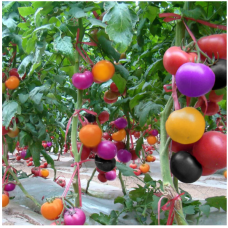 JCSSUPER 100Pcs Rainbow Tomato Seeds Colorful Bonsai Organic Vegetables and Fruits Seed Home Garden